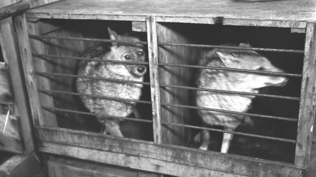京浜鳥獣株式会社がオランダのチルグルグ動物園から輸入した戦後の日本で初めてのキツネオオカミ=1954年5月28日