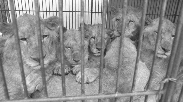 宮城県宮城郡宮城町農協が計画したサファリパークが中止になり、ライオンやトラなど猛獣たちを持ち込んだ動物商が処置に困って移動動物園を計画、1978年暮れから同県桃生郡矢本町をスタートに「巡業の旅」に出た=1979年1月8日