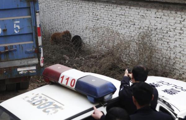 人に嚙み付きけがをさせたチベット犬を撃つ警察官=中国・河北省石家荘市、2013年11月、ロイター