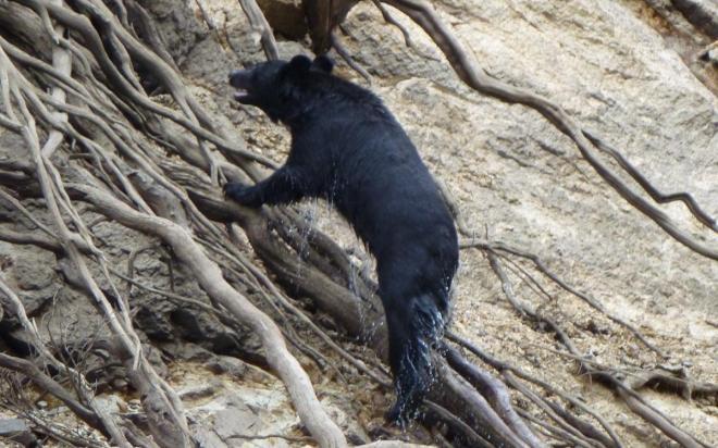 泳ぎ切って対岸に上がったクマ