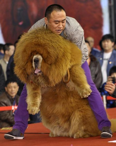 中国・瀋陽であったチベット犬のコンテスト=2012年3月、ロイター