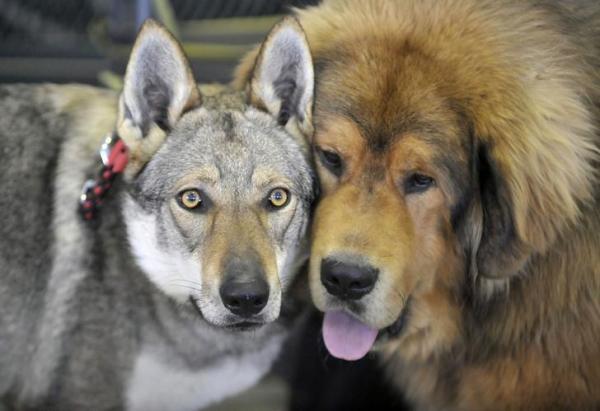 チベット犬とチェコスロバキアン・ウルフドッグ、ロイター