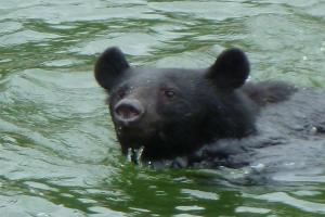 あっ、クマが泳いでる! 群馬のダム湖面、巡視中の職員が偶然激写