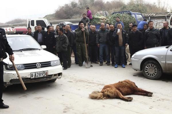 人に嚙み付きけ、射殺されたチベット犬=中国・河北省石家荘市、2013年11月