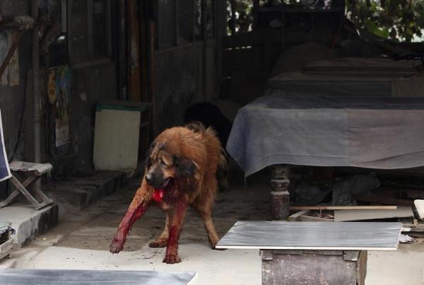 人にかみついたチベット犬=中国・河北省石家荘市、2013年11月、ロイター