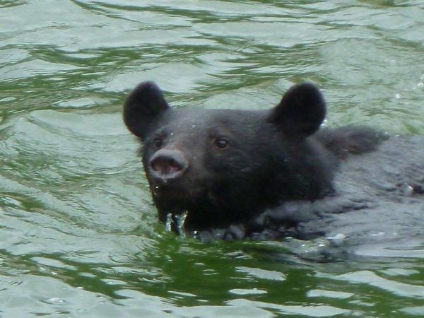 矢木沢ダムの湖面で撮影された、泳いでいるクマ