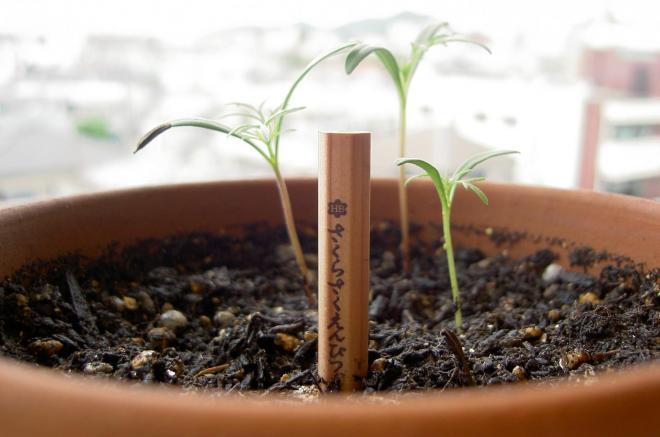 植えた鉛筆から発芽