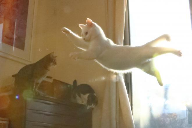 無重力猫ミルコ。跳んでいる姿を撮ってみたら、重力を無視して浮いているような姿に。