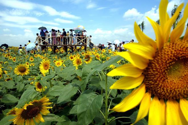 中国・広東省のひまわり畑。ひまわりの種は「種」好きの中国人の中でも定番中の定番=2002年5月、広東