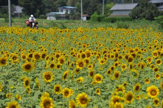 原発事故後に植えられ、満開になったヒマワリ=2011年夏、福島県南相馬市で