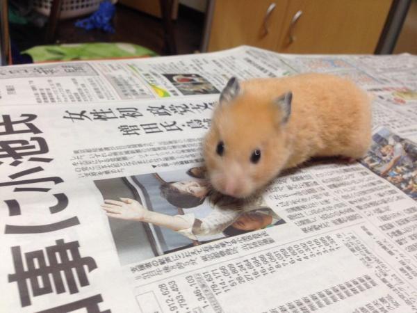 もぞもぞハムスターも #かっこよく新聞読む