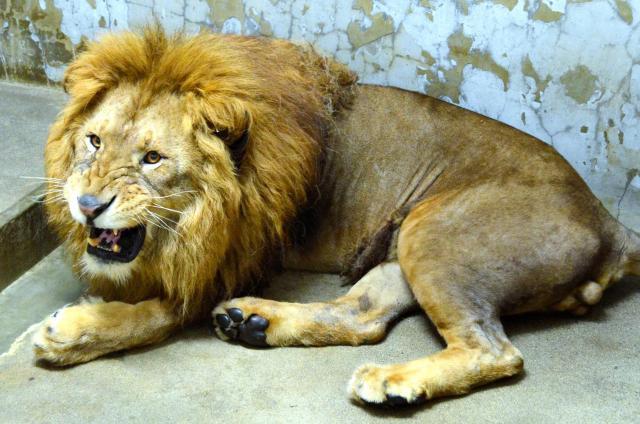 こちらも「百獣の王」。秋田市の大森山動物園の雄ライオン、ロアー=金井信義撮影