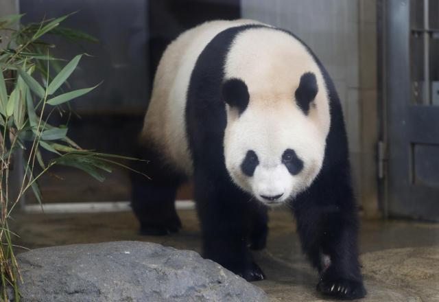 上野動物園の雌パンダ、シンシン=2012年6月