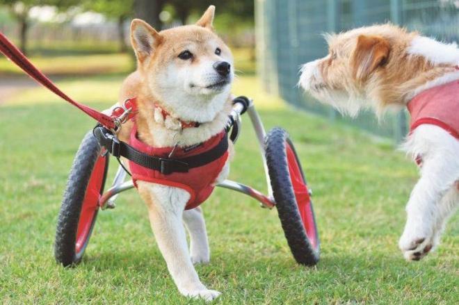 事故で脚2本を切断し、車いすで散歩するすみれ