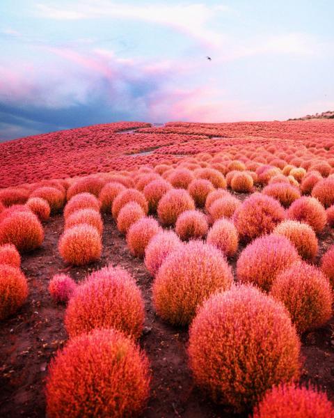 《赤い丘》 秋になるとひたちなかのコキアは素晴らしい色に着色される。(茨城・ひたちなか)