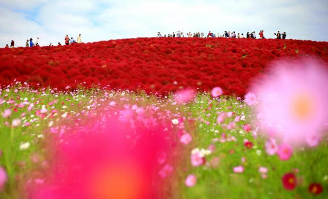 茨城県ひたちなか市の国営ひたち海浜公園は有名な絶景スポット。秋には深紅に染まったコキアとコスモスが、訪れた人たちを楽しませる=2016年10月19日、長島一浩撮影