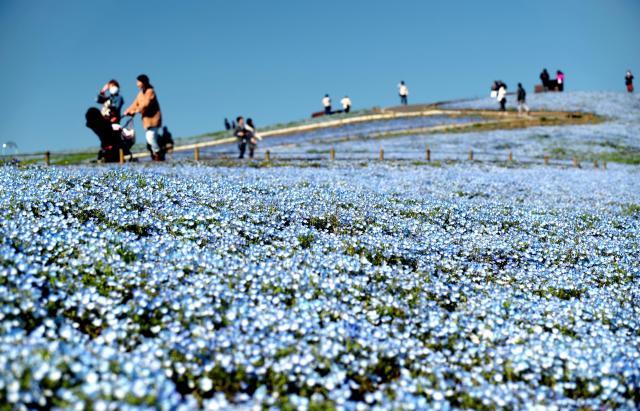 茨城県ひたちなか市の国営ひたち海浜公園は有名な絶景スポット。一面に咲くネモフィラは、空とつながっているかのよう=2016年4月11日、長島一浩撮影