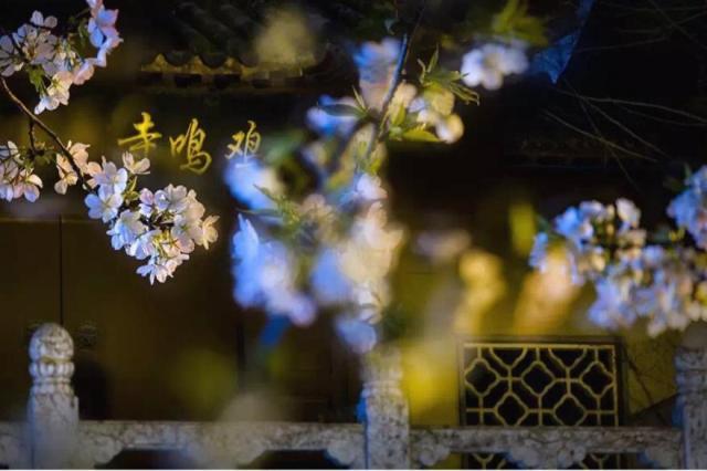 鶏鳴寺と桜
