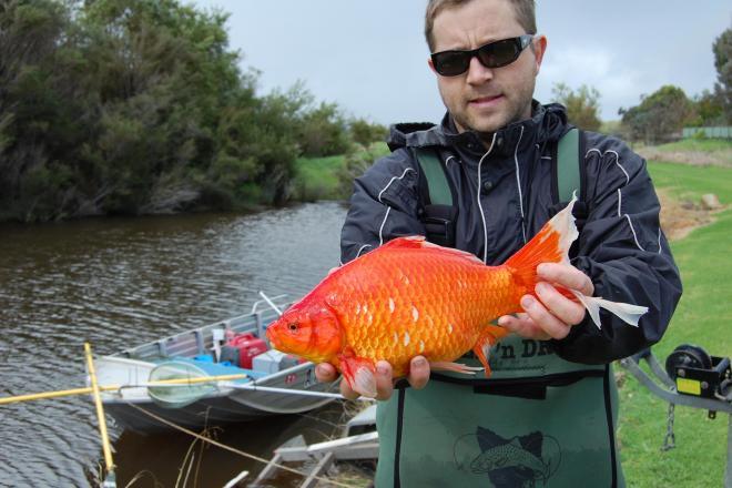 野生化した金魚を手にしたスティーブン・ビーティ博士。体長18センチになる個体も…