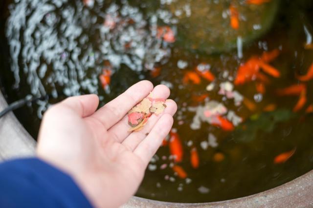 人工飼育されている金魚