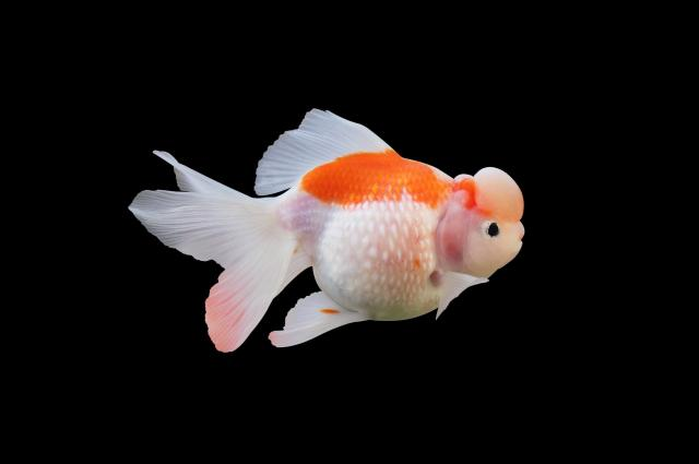 観賞用の金魚