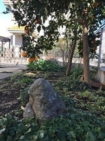 吉田さんの家の庭には、甘夏の木が植えてある。庭石のあたりに、たら・こたろうの骨が埋められている