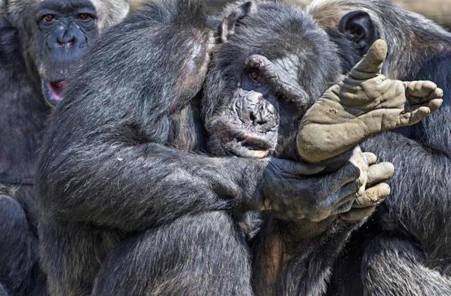 集まるチンパンジー =2016年4月16日撮影