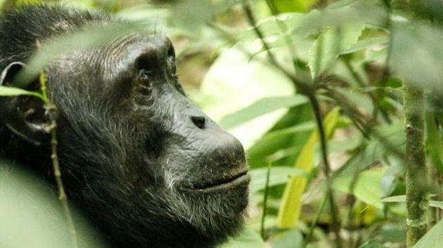 熱帯雨林に住むチンパンジー=2006年12月20日、ロイター