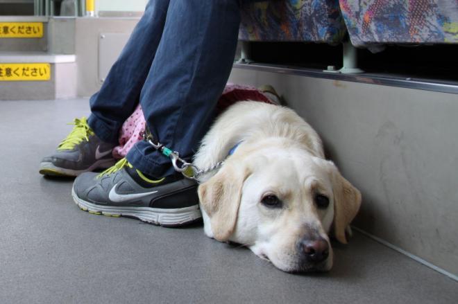 盲導犬になるためのバス乗車訓練