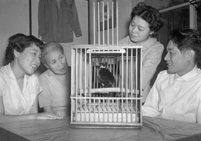 1959年、天才九官鳥として話題になった「キューちゃん」。「ハトポッポ」を歌い、「アラアラ、イイコダ」と赤ん坊のあやし方まで心得て最近は「ハロー」で始まる英会話までやる、と報じられた