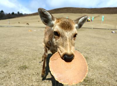 特大の鹿せんべいをほおばる奈良の鹿=奈良市、2014年3月21日
