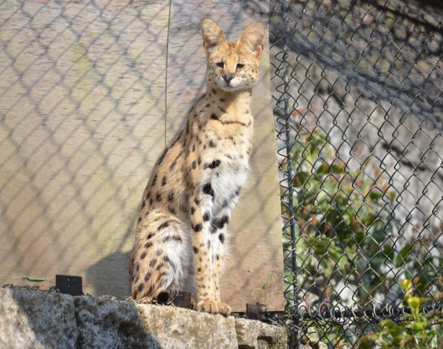 多摩動物公園で飼育されている「アポロ」
