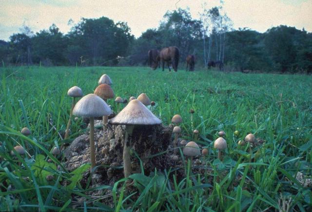 馬糞に生えたツヤマグソタケ。ウンコを分解し、土に返すという