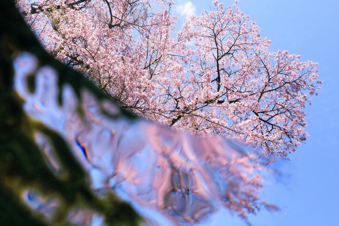 川の水中から仰ぎ見た桜=2017年4月12日、和歌山県古座川町、細川卓撮影