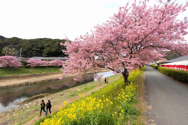 川沿いに河津桜と菜の花を楽しめる