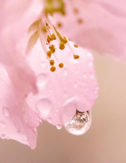 雨粒の中に映りこむ満開の桜=2017年4月7日、大阪市中央区の大阪城公園、内田光撮影