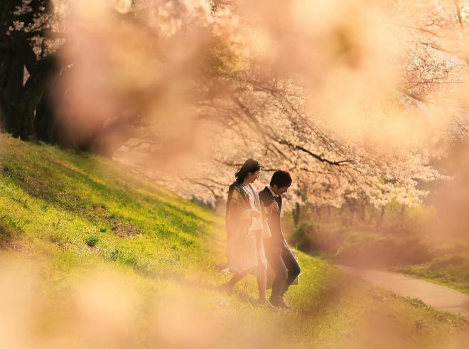 夕日に輝く桜=2017年4月12日、京都府八幡市の背割堤、内田光撮影