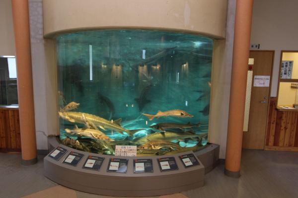 キャンプ場内にある美深チョウザメ館では6種類、約1200匹のチョウザメを飼育