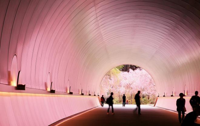 トンネルの先の桜の光を反射し、ピンク色に染まるトンネル=2017年4月18日、滋賀県甲賀市、細川卓撮影