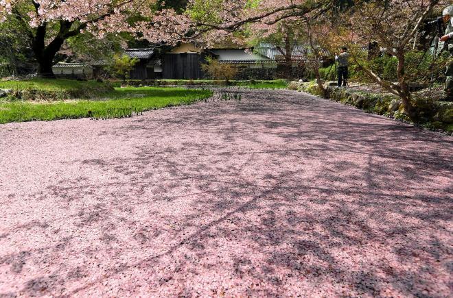 「佐中の千年家」の池に浮かんだ花いかだ=2017年4月18日、兵庫県朝来市、上田潤撮影