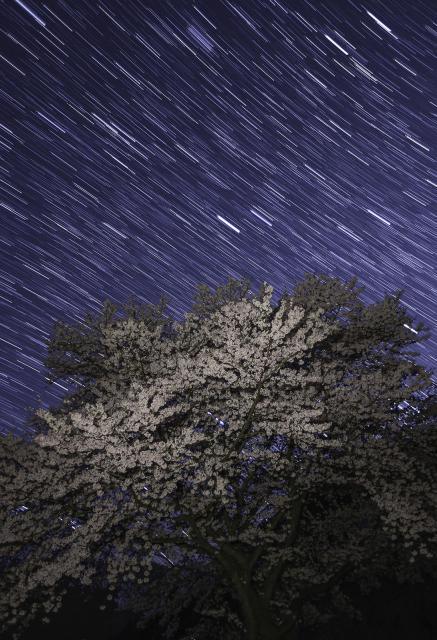 満天の星に包まれる桜=2017年4月14日、和歌山県紀美野町、内田光撮影(19時56分から20時9分までの40枚を合成)
