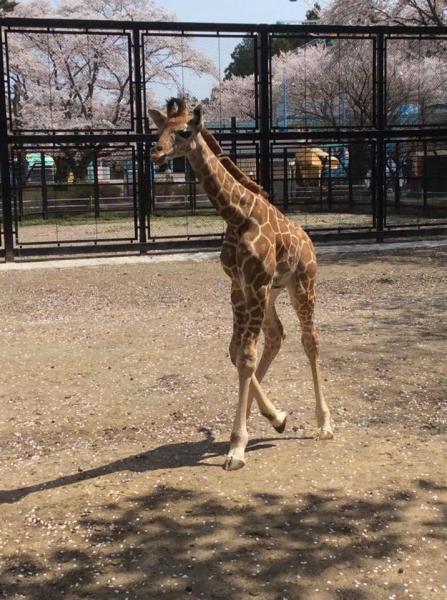 3月29日に産まれたキリンの赤ちゃん