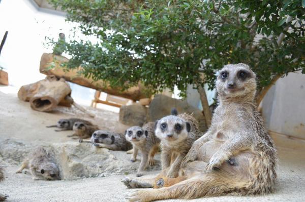 浜松市動物園のミーアキャット