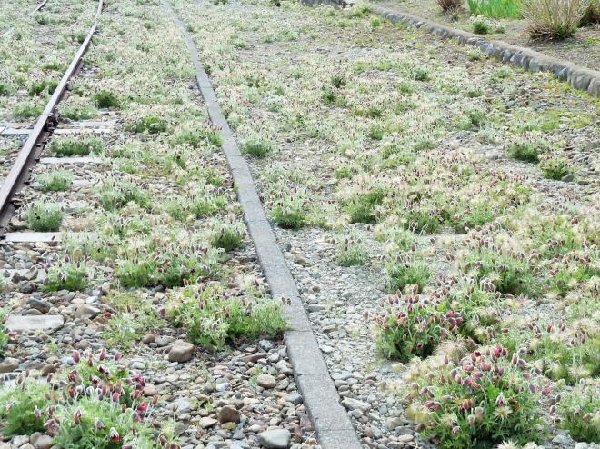 線路を覆うかののようにオキナグサが咲き誇っていた