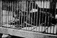 逃げたクロヒョウ。後に「昭和11年三大事件」と言われることに……=1936年7月