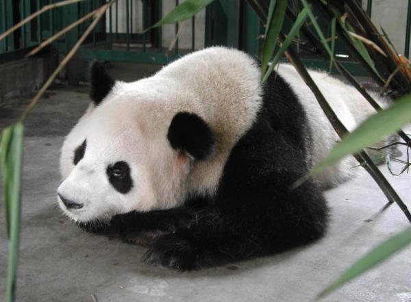 13頭の出産記録を持つ「超級英雄ママ」の慶慶(チンチン)=2003年8月、中国四川省・成都大熊猫繁育基地で