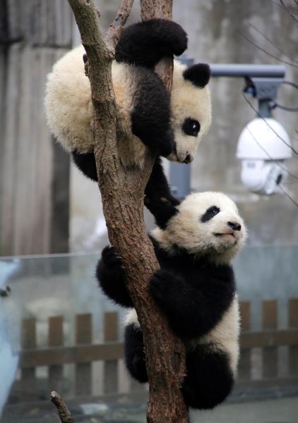 木に登って遊ぶパンダの赤ちゃん=成都・四川省、2017年1月