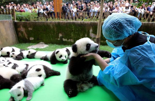 23頭のパンダの赤ちゃんたち=成都ジャイアント・パンダ生殖研究基地、四川省、2016年9月