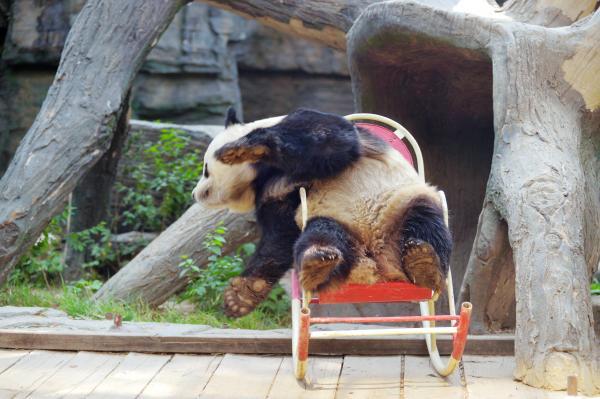 椅子に座っているパンダ=北京、2017年5月