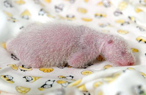 保育器で眠るパンダの赤ちゃん。保育器は赤ちゃんの体温に近い35度に保たれている=2017年6月17日、上野動物園、東京動物園協会提供